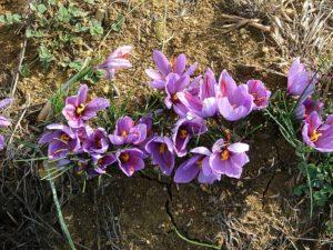 Fiori di zafferano- Parco della Val d'Orcia